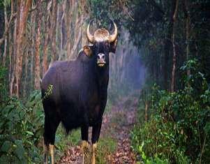 10157-bison-dooars-1.jpg
